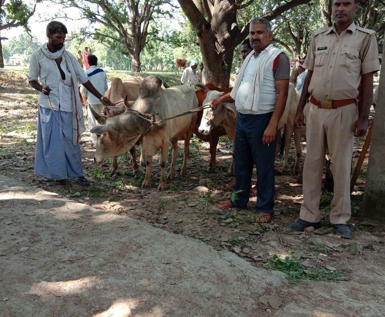 वध हेतु ले जाये जा रहे 27 राशि गोवंश को चकिया पुलिस ने किया बरामद